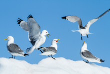 Banned for decades but still toxic to Arctic seabirds