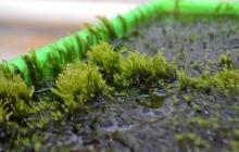 Mossa som kan rena dricksvatten från arsenik upptäckt