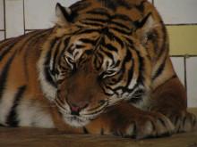Tigern Tornado har fått en kompis
