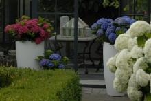 Hortensiakalender – Hur du sköter din trädgårdshortensia månad för månad