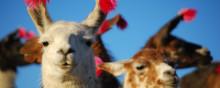 Peru med Amazonas påsken 2016; Fjellgorillaer og opplevelser i Uganda og Rwanda; Spesialkampanje på rundreise i Vietnam; Sommerens favorittcruise