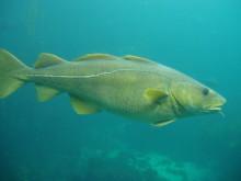 Er det storleiken som tel? Stor torsk har meir kvikksølv