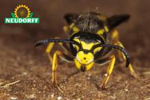 Högsäsong för utelivet – och för getingarna