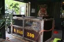 Tre tigerhanar har anlänt till Borås Djurpark