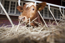 Effektivare kor ska minska miljöbelastningen