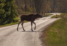 Här är risken för viltolyckor störst - lista län för län