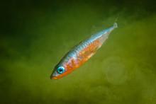 Människan orsakar snabb evolution hos Östersjöfisk