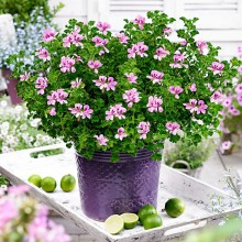 Begonia, Pelargon och Azalea: Inomhustrenden letar sig ut till trädgården!
