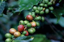 Klar til at bevare skov med bedre udnyttelse af kaffeplanten i Etiopien