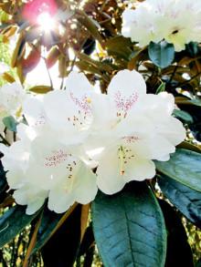Rhododendron på Sofiero - Tidig men fortfarande praktfull