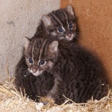 Tuffa kattungar på äventyr i Parken Zoo