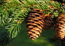 Det mest klimavenlige juletræ er rødgranen