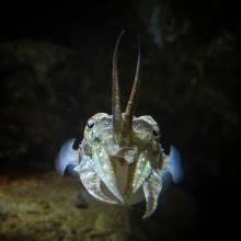 Snart blir det fler bläckfiskar på Havets Hus