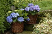 Holländska trädgårdshortensian Forever&Ever är framtagen för kallare odlingszoner
