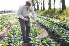Pak Choi, ny kålsort för den svenska odlingen