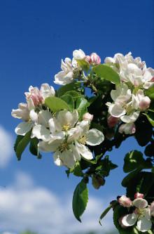 Äppelblomssafari på Kiviks Musteri