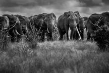 Svårt uppdrag dokumentera de sista stora elefanterna