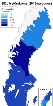 Blåbärsprognosen från SLU: Rekordår för blåbär