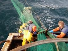 Ny rapport visar: Satsning på selektiva fiskeredskap ger mer hållbart fiske