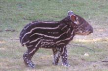 Tapirunge föddes på prinsessans födelsedag!