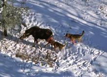 Skandinaviska vargar dödar fler älgar än de nordamerikanska