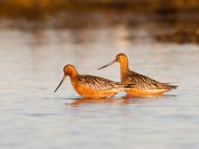 Varmare klimat hotar fåglar i nordliga områden