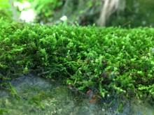 Mossor som får klippor att vittra kan förklara klimatförändringar under Ordovicium