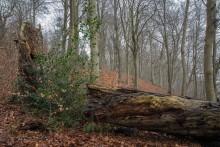 Tag med i Kollund skov, der har været her siden istiden