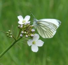 Fjärilar och bananflugor kan ge svar på evolutionsgåta