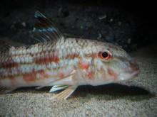 Medelhavsfisk på Havets Hus i Lysekil