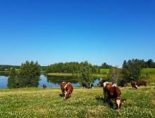 Atrian tavoitteena hiilineutraali nautaketju – naudanlihan hiilijalanjälki pienenee hyvällä suomalaisella tuotantotavalla