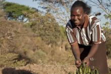 Höns och bin minskade effekterna av torkan