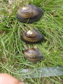 Forskning: Låg förekomst av musslor i Göta älv visar på oroväckande miljöpåverkan