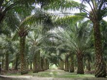Allt du velat veta om palmolja och förnybar diesel HVO