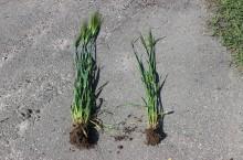 Ny gröda kan ge mer effektiv växtföljd