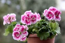 Färre regler för företag som producerar förökningsmaterial av prydnadsväxter