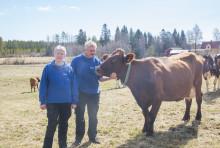 Sommarglada kor på grönbete i Tväråmark och Forslunda