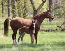 Fölshow i samband med Falsterbo Horse Show