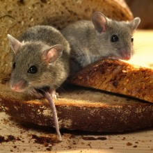 Food Safety informerar om Weils sjukdom