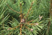 Skogforsk leder utredning som ska ge svar om skadade tallar