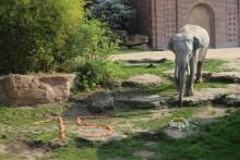 Leipzigs stattlichster Junggeselle feiert Geburtstag: Elefantenbulle Voi Nam aus dem Zoo Leipzig wird 15 Jahre