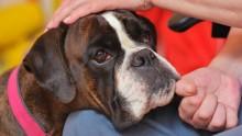 Boxern Hilda är Årets sociala tjänstehund 2016