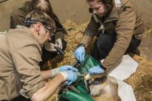 350 djurparksveterinärer samlas på Kolmården