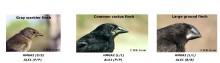 Nya rön om näbbens evolution hos Darwinfinkar