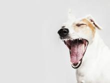 36% borstar aldrig tänderna på sina hundar