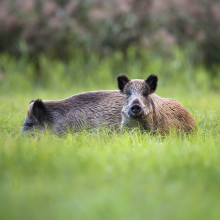 Radiation measurement: from timber to wild boar