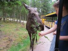 Fem vilde dyreoplevelser i Sverige