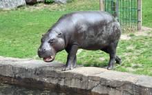 Scharrende Hufe bei der Sonntagsführung im Zoo