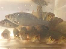 Fremmede ferskvannsfisk: Miljø-DNA i overvåking