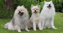 Eläinlääkäri vastaa: Kannattaako koiralle leikata kesäturkki?